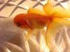 goldfishbubbles userpic