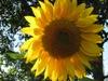 sunflower_tm userpic