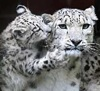 Ann Sulaiman: Snow leopards