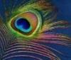 Spiritual Buddhist Peacock