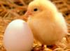 птица, полуфабрикаты, мясо, цыпленок