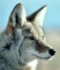 El Coyote Gordo: wink