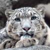 snow_irbis userpic
