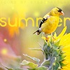 Mischief: SummerGoldFinch