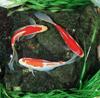 Des: Pond Goldfish