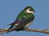 purple_swallow userpic