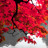 7veilsphaedra: Maples by morbid_divinity