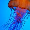 Jessica K Malfoy: pretty: jellyfish