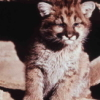 curious_reader: Mountain Lion Cub