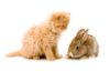 rabbit_cat_orange_4