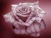 Роза Музыки