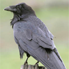 Corvus Corax  Common Raven