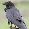 Corvus Corax  Common Raven