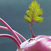 Ten O'Clock Medievalist: veggie love now with more kohlrabi