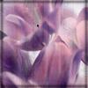 lilac_ribbon