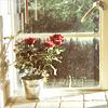 горшок с розами