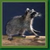 whatraccoonsees userpic