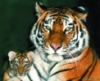 metall_tiger userpic