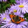 Tortoiseshell Butterfly (purple)