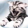 Cats :: Kitten Yawn