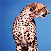 Cheetah - pose