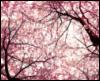 pink, cherry, sakura, blossom