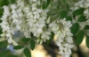 acacias_blanche userpic