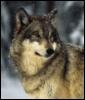 waya wolf