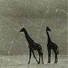 Kim: giraffes