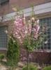 Flowering Tree, вясна, прырода, крыніца натхнення