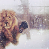 Maggie: Lion in the snow