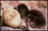 птенец яйцо