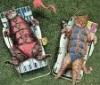 annabuffy: Bikini Cats