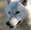 blue and red eye wolf rawr