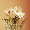 Rosanna: misc: daisies