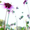 Miriam: purple dahlias