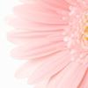 spring - light pink daisy