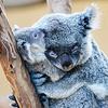 Lou: koala hug