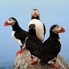 elrhiarhodan: Animals - Puffins