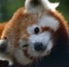 winking, red panda