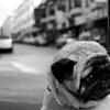 Buggy's Mistress: MISC: Pug
