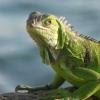 smiling_iguana