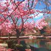 Japan - sakura