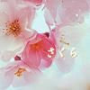 japan_treasures: Japan - Sakura 2