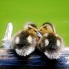 sleepygoof8784: duckie comfort
