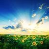 [ stock: field of sunflowers ]