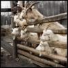 козлы