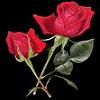 #!/usr/bin/girl: roses