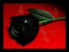 черная роза, кровь, роза
