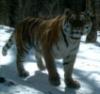 тигрис